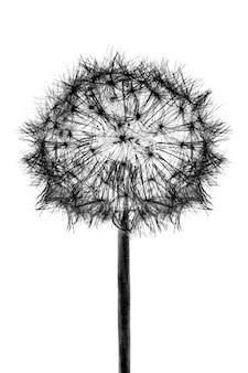 Zwarte bloei hoofd paardebloem bloem, geïsoleerd