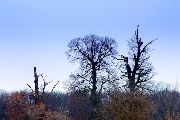 Zwarte bomen op blauwe hemelachtergrond. winterlandschap, avond_