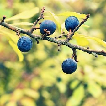 Zwarte bomenboom. mooie en gezonde vruchten van de herfst.