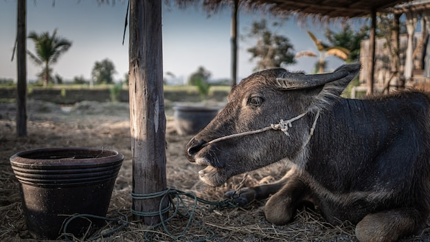 Zwarte buffels in weiland