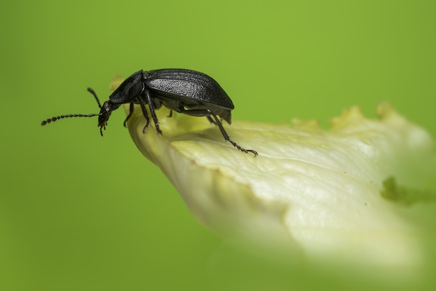 Zwarte bug zittend op blad close-up