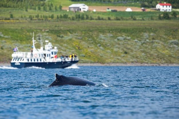 Zwarte bultrug die in overzees met cruiseboot bij kust van ijsland zwemt.