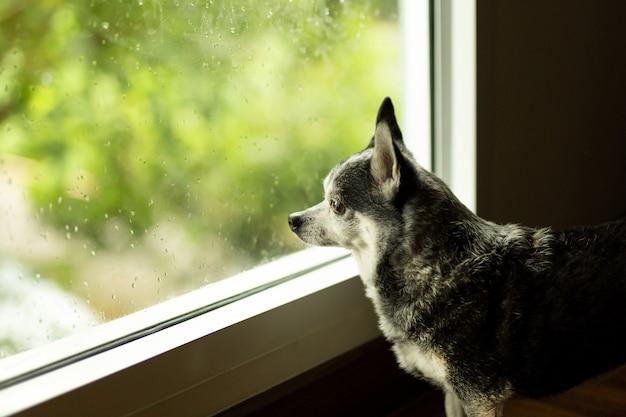 Zwarte chihuahua hond keek uit het raam terwijl in regenachtige dag.