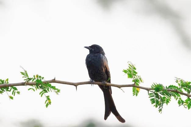 Zwarte drongo dicrurus macrocercus zit op de boomtoptak