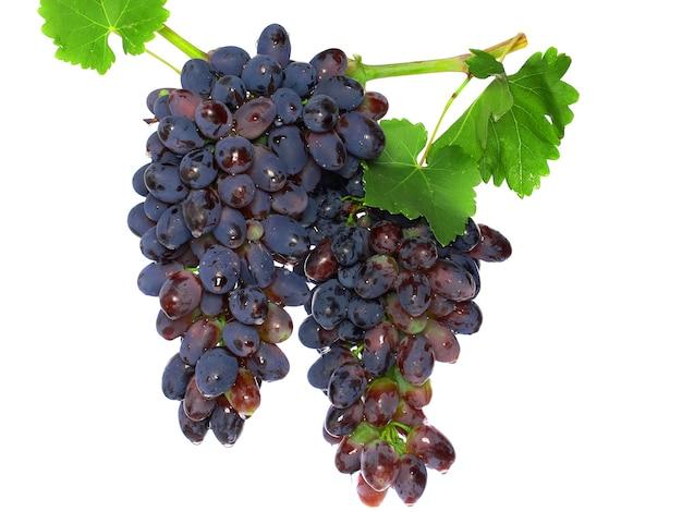 Zwarte druif op rietwijnstok met leafe. geïsoleerd over wit