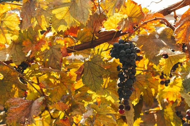 Zwarte druiven groeien van nature in huis in warm, kalm ochtendlicht.