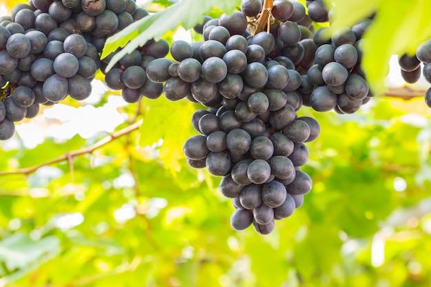 Zwarte druiven in de wijngaard