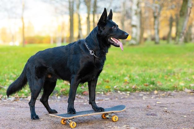 Zwarte duitse herder op skate, skateboard in de herfst in het park
