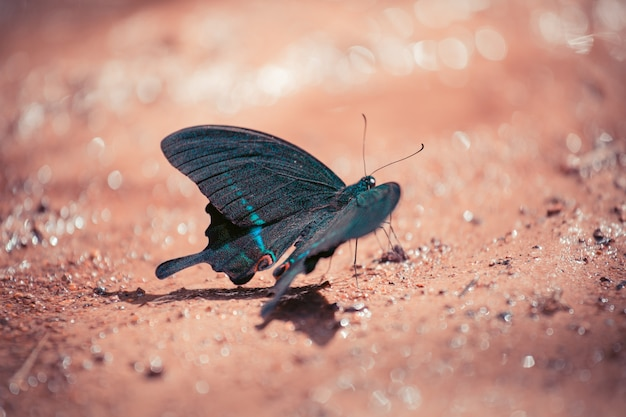 Zwarte en blauwe vlinder zittend op de grond in het bos.
