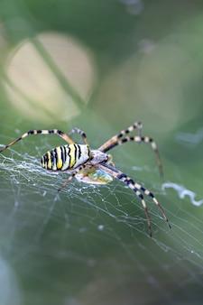 Zwarte en gele streep argiope bruennichi wesp spin op web.