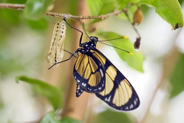 Zwarte en gele vlinder die uit de cocon komt