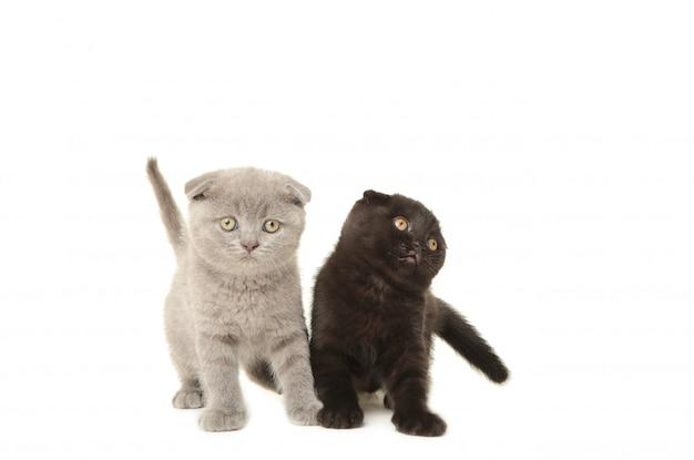 Zwarte en grijze britse katjes die op wit worden geïsoleerd