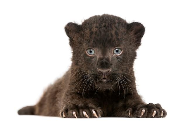 Zwarte en luipaardwelp die geïsoleerd op xhite onder ogen zien liggen