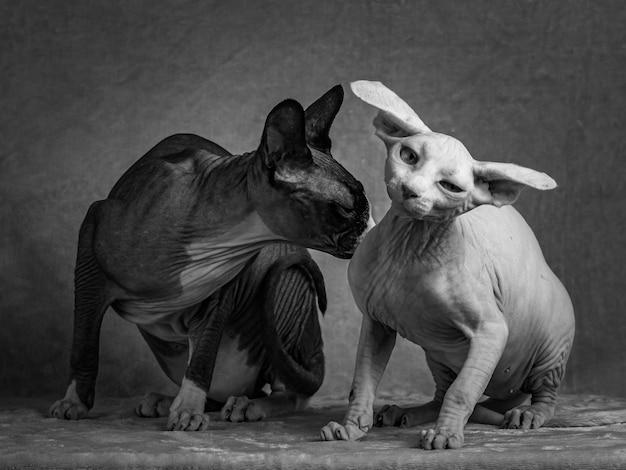 Zwarte en witte katten