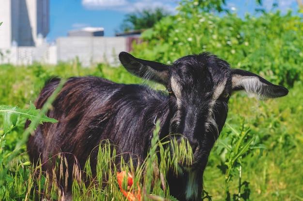 Zwarte geit grazen in een weiland in het dorp.