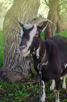 Zwarte geit op gras. zwarte binnenlandse geit. binnenlandse geit staat op de boerderij lijkt