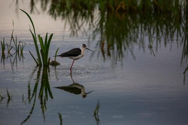 Zwarte gevleugelde stelten (himantopus himantopus) in aiguamolls de l'emporda nature reserve, spanje
