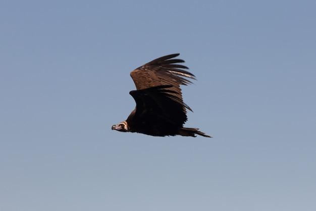 Zwarte gier die met het eerste daglicht vliegt