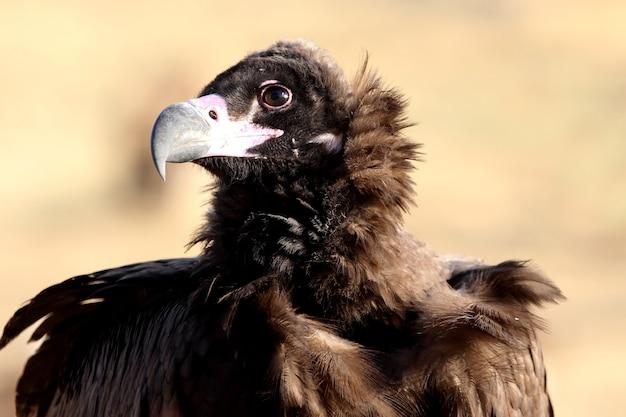 Zwarte gier zittend in de natuur