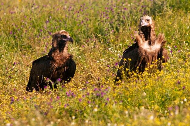 Zwarte gieren in het wild