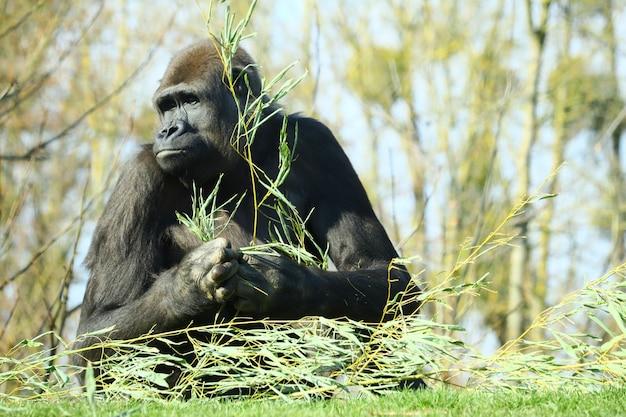 Zwarte gorilla met een tak van een plant in zijn handen, omringd door bomen