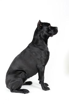 Zwarte grote hond.