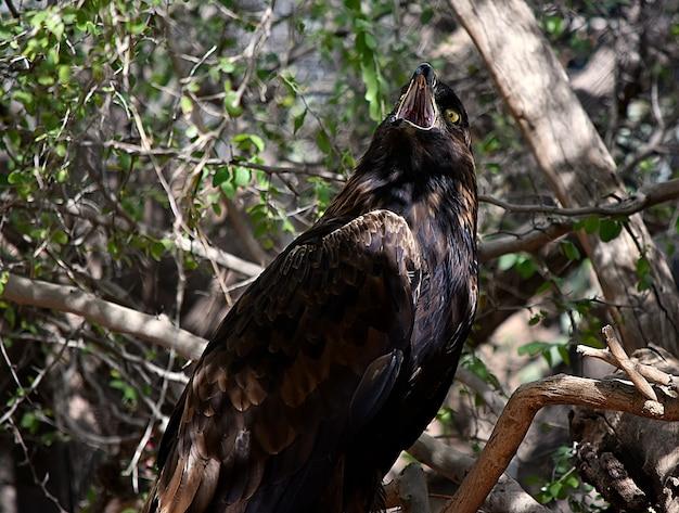 Zwarte havik met een open mond die zich op een boomtak onder zonlicht bevindt