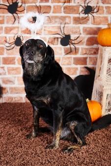 Zwarte hond met halo op halloween