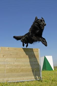 Zwarte hond springen