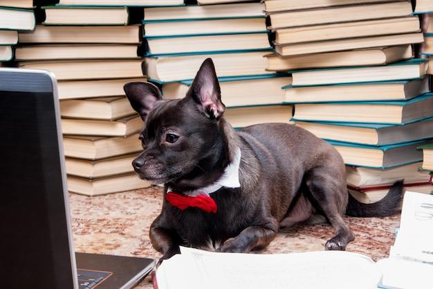 Zwarte hondchihuahua met vlinderdas die laptop in bibliotheek bekijkt het concept onderwijs en huisdieren
