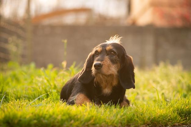 Zwarte hondenhond die in het gebied rust