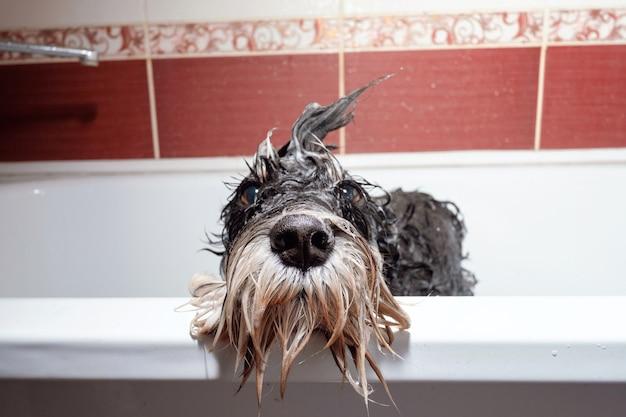Zwarte hondenschnauzer in badkamer douchen