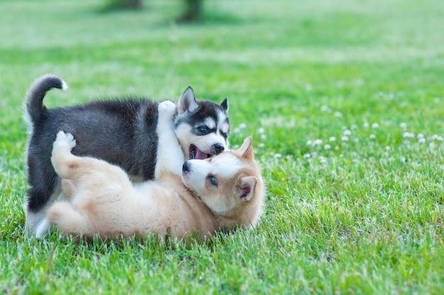 Zwarte husky en bruine puppy spelen met elkaar
