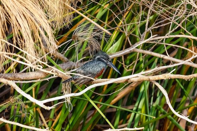Zwarte ijsvogel in hinderlaag. naivasha, kenia