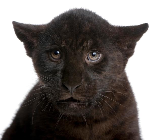 Zwarte jaguar-welp, panthera-onca, die op wit wordt geïsoleerd