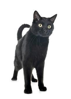 Zwarte kat in studio