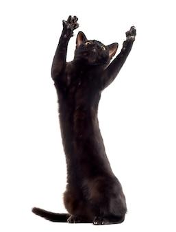 Zwarte kat kitten spelen op zijn achterpoten en handtastelijkheden omhoog geïsoleerd op wit