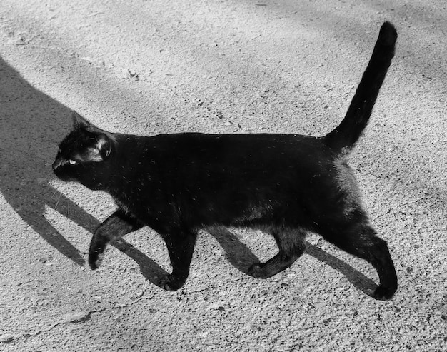 Zwarte kat zoogdier dier