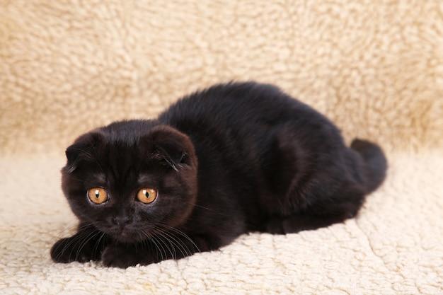 Zwarte katjes britse korthaar met gele ogen op beige