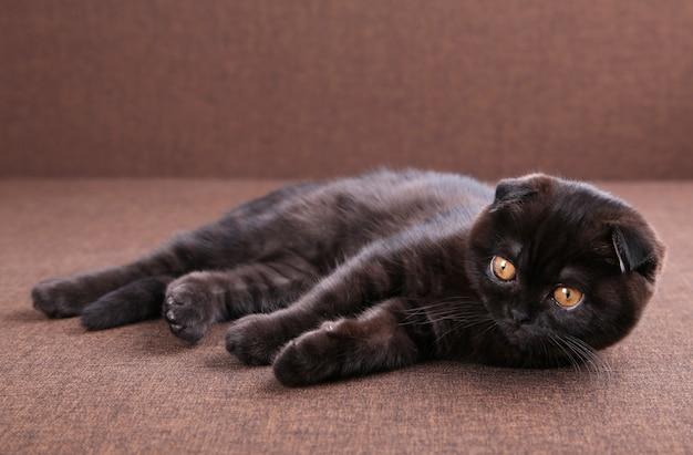 Zwarte katten britse korthaar met gele ogen
