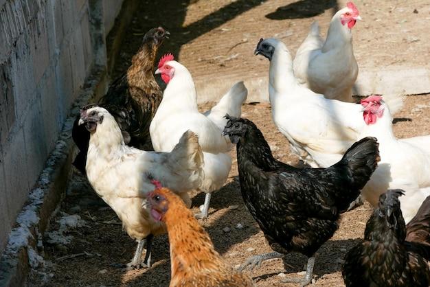 Zwarte kippenhengel die langs zijn klauwen veren heeft
