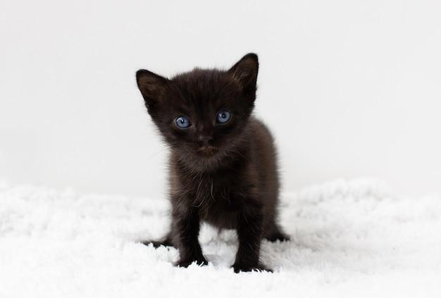 Zwarte kleine kitten zittend op een witte achtergrond