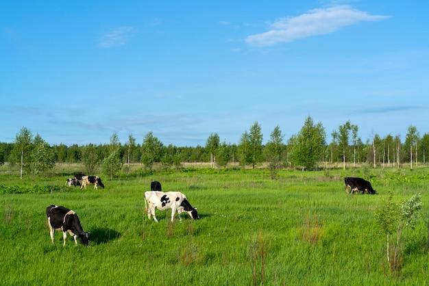 Zwarte koeien grazen op een groen veld op een zomerse dag.