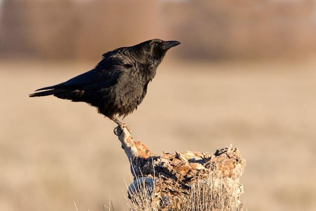 Zwarte kraai met de eerste lichten van de dag, raaf, kraai, vogel, corvus corone