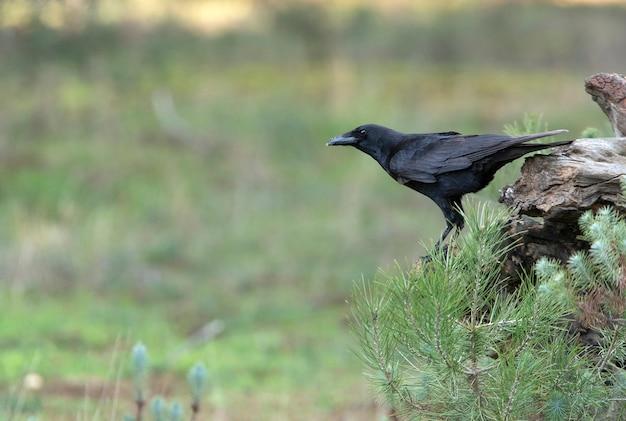 Zwarte kraai met de laatste avondlichten in een dennenbos