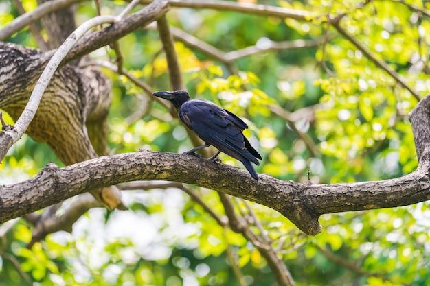Zwarte kraai op boomtakken