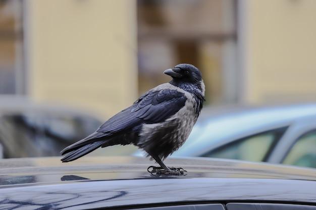 Zwarte kraai op het dak van een auto