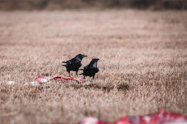 Zwarte kraaien die aas eten