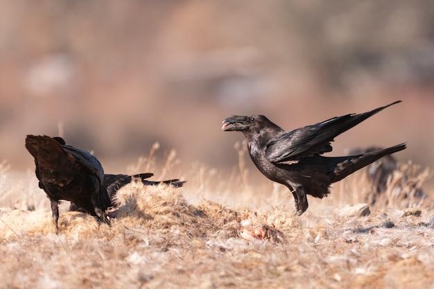 Zwarte kraaien in de habitat. corvus corax.