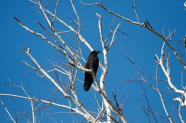 Zwarte kraaien ligt op een droge boom, ochtend diepblauwe lucht